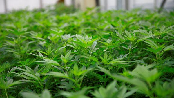 El cannabis, la ley y la batalla por el favor del público