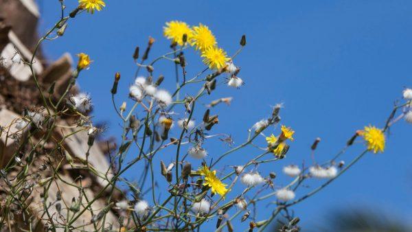 La contaminación hace el polen más agresivo y dispara el número de alérgicos